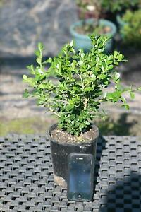 Buxus Japonica 140mm pots Austral Liverpool Area Preview