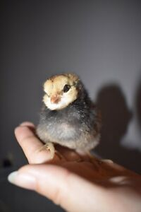 Pure Ameraucana chicks