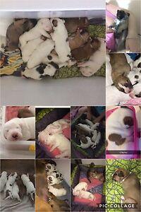PUPPIES AMERICAN BULLDOG X GERMAN SHEPARD X RIDGEBACK X Ningi Caboolture Area Preview