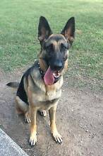 Share my  dog: 2 Years old german shepherd dog Oxley Brisbane South West Preview