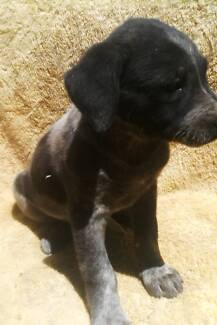 4 Cattle Dog Puppies. Adelaide Park Yeppoon Area Preview
