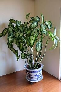 Dieffenbachia (dumb cane) indoor plant Strathfield Strathfield Area Preview