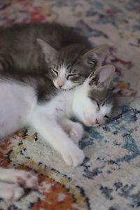 Gorgeous Bicolour Kittens