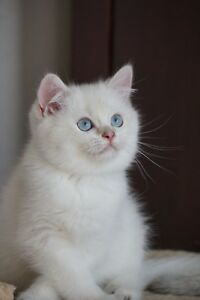 British Shorthair kittens TICA registered.