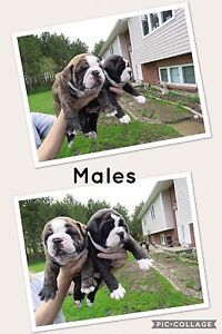 Outstanding litter of Olde English Bulldogges