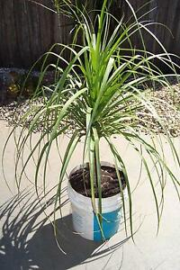 Ponytail Palm Bligh Park Hawkesbury Area Preview