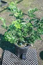 Murraya Paniculata - mature in 300mm pots Austral Liverpool Area Preview