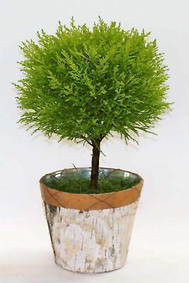 Lemon Cypress Goldcrest Topiary Tree