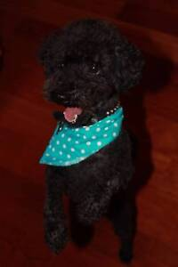 TOY POODLE ENTIRE WITH FULL PEDIGREE MAINS PAPERS Waterways Kingston Area Preview