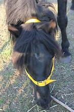 It is black Welsh Sec B x stallion pony Tingha Guyra Area Preview