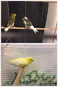Canaries avec cage/accessoires /Canaries w/ cage/accessories