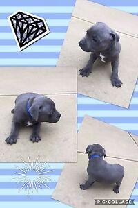 3 beautiful blue English Staffy pups. Lethbridge Golden Plains Preview