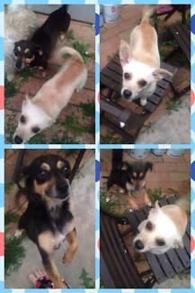 Chihuahua sister's