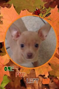 ***** Little Chihuahua Puppy Ready NOW****
