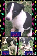 Whippet pups Deer Park Brimbank Area Preview