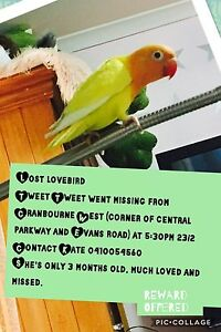 Lost lovebird - bird - small parrot Cranbourne West Casey Area Preview
