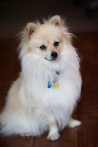 Male cream pomeranian looking for a new home