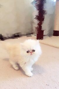 Dollface Persian Kittens Available