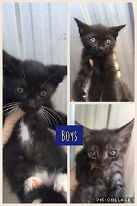 Kittens for sale Seaham Port Stephens Area Preview
