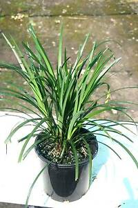 Liriope 200mm pots Austral Liverpool Area Preview