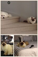 Lost Female Cat in Monterey Keys 22/05/16 Helensvale Gold Coast North Preview