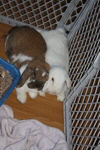 Bonded pair of bunnies looking for new home!