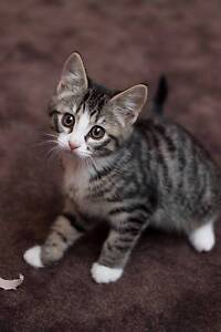 Lola rescue KITTEN to adopt VET WORK INC Butler Wanneroo Area Preview