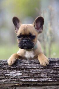Red French Bulldog Puppies - Renuar Dorian Buff lines