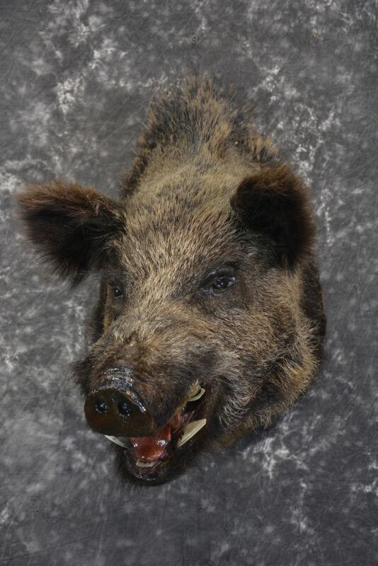 Russian Boar taxidermy shoulder mount for sale SKU 1832