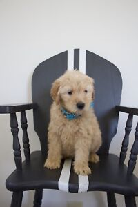 F3B Goldendoodle medium size puppies Golden Doodle