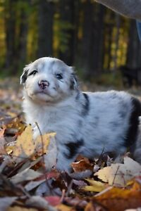 Border Collie/ Australian Shepherd Red Merle puppies