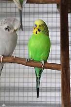 Adult Male Green Budgie Berri Berri Area Preview
