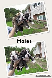 Bulldogs-     Olde English Bulldogges