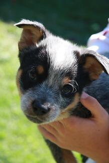 Pure Blue Cattle dog pups Gympie Gympie Area Preview