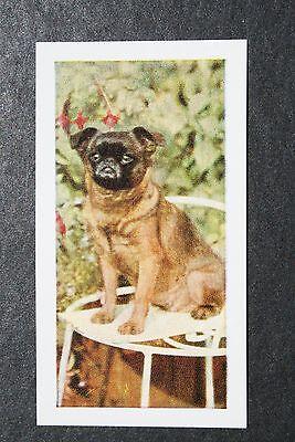 Griffon Bruxellois    Vintage Colour Photo Card   VGC / EXC