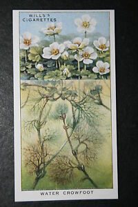 Water-Crowfoot-Water-Garden-Plant-Vintage-Illustrated-Colour-Card-VGC