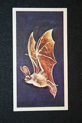 Long-eared Bat      Superb Illustrated Colour Card  VGC