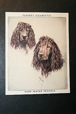 Irish Water Spaniel     Large Vintage Portrait Card   EXC