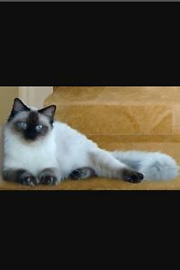 WANTED: LOOKING FOR MALE RAGDOLL St Helens Park Campbelltown Area Preview