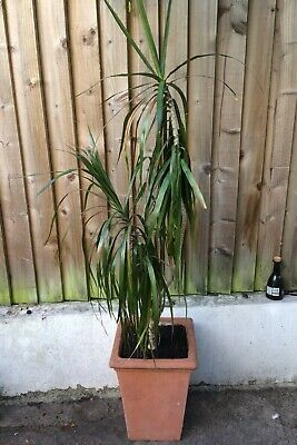 Red Edge Dracaena In Tall Terracotta Pot