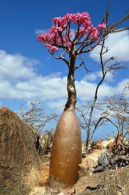 10 Socotra Bottle Tree Seeds Palm Tropical Perennial Tree Ornimental Seed Garden