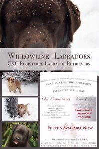 CKC Labrador Retrievers **12 weeks Obediance