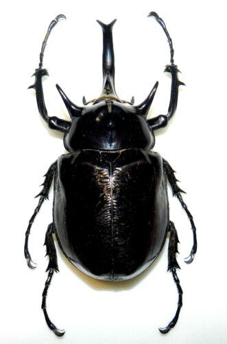 Dynastidae: Megasoma mars....male....Peru....BIG SIZE....116mm....VERY RARE!