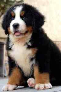 Wtb Bernese Mountain Dog Puppy Maryborough Central Goldfields Preview