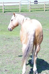 Palomino for sale