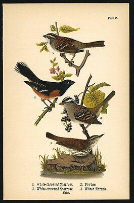 SPARROW, THRUSH, Vintage 1890 Chromolithograph, Color Bird Print Antique, 095