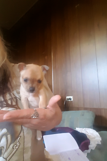 CHIHUAHUA PURE BRED PUPPIES