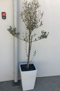 Potted olive tree Cottesloe Cottesloe Area Preview