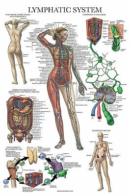 Laminated Lymphatic System Anatomical Poster - Lymphatic Anatomy Chart - 18 ...