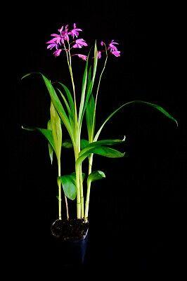 BLETILLA STRIATA 1 pianta in vaso quadro Orchidea Giacinto terricola rustica